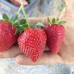 CSA_Allan_strawberry1-150x150.jpg